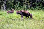 21-Moose.jpg