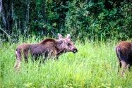 22-Moose.jpg