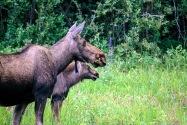23-Moose.jpg