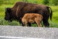 25-Bison.jpg