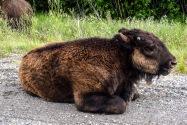 27-Bison.jpg