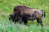 28-Bison.jpg