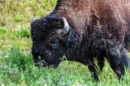 29-Bison.jpg