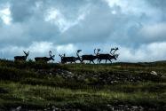 32-Caribou.jpg
