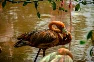 Flamingo, Colombia