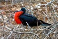 Male Magnificent Frigatebird, Galapagos Islands
