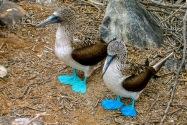 Blue-Footed Boobies, Galapagos Islands