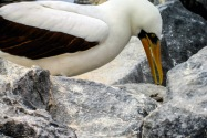 Hooded Boobie, Galapagos Islands