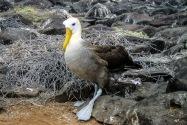 Waved Albatross, Galapagos Islands