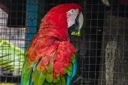 Macaw, Panama