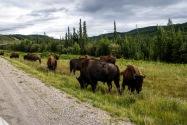 Bison, Canada