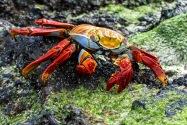 Sally Light-Foot Crab, Galapagos Islands