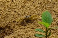 Ghost Crab, Panama