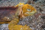 Golden Iguana, Galapagos Islands