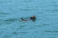 Sea Otter, Alaska