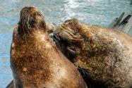 Sea Lions, Chile