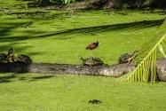 Turtle, Panama