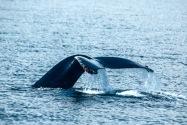 Humpback Whale, Alaska