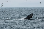 Humpback Whale, Channel Islands