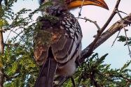Hornbill Namibia