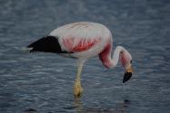 104-flamingo