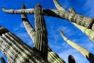 Organ Pipe Cactus NM, AZ